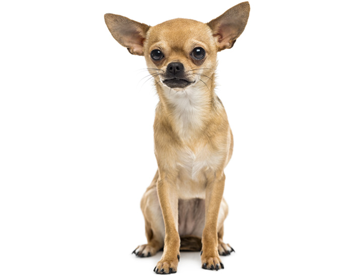 life expectancy of chihuahua life expectancy of 9 of america s most popular dog breeds 7226